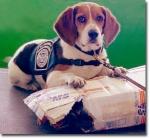 fed_beagle
